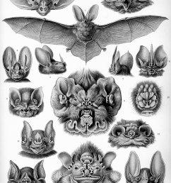 pinnae of the bat [ 2314 x 3220 Pixel ]