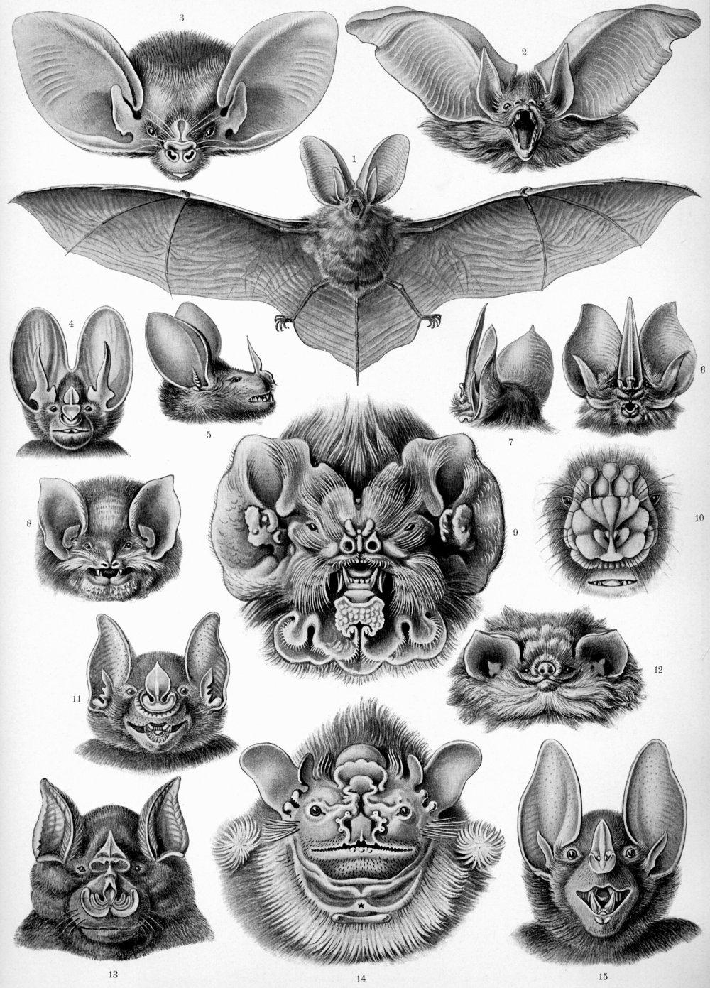 medium resolution of pinnae of the bat