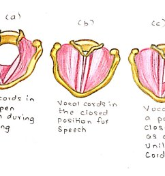 the diagram a b c show different positions of vocal cords in different conditions  [ 1944 x 1185 Pixel ]