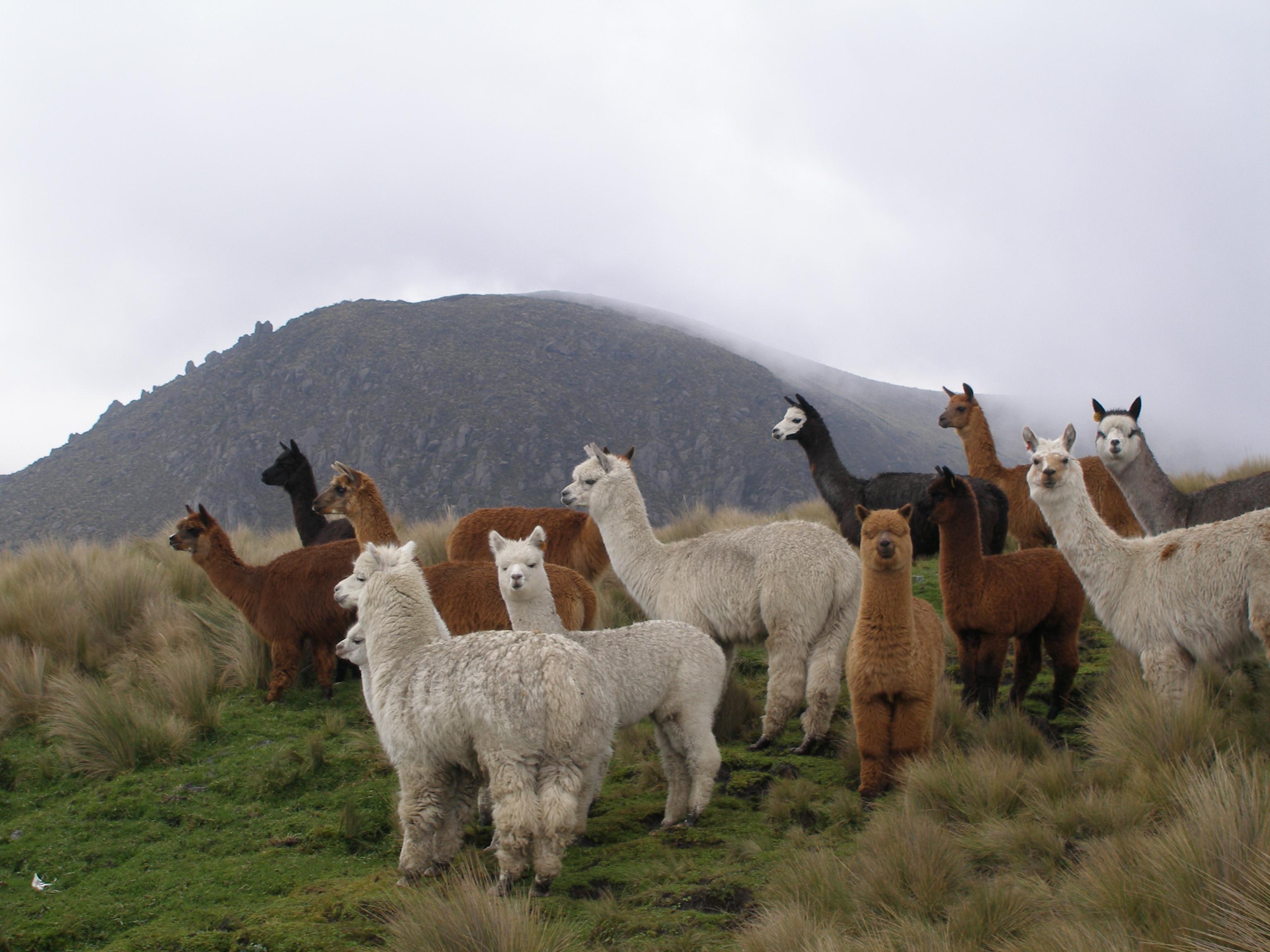 A flock of Alpacas