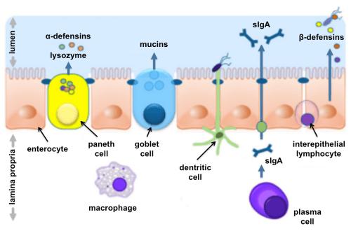 small resolution of intestinal mucosal barrier