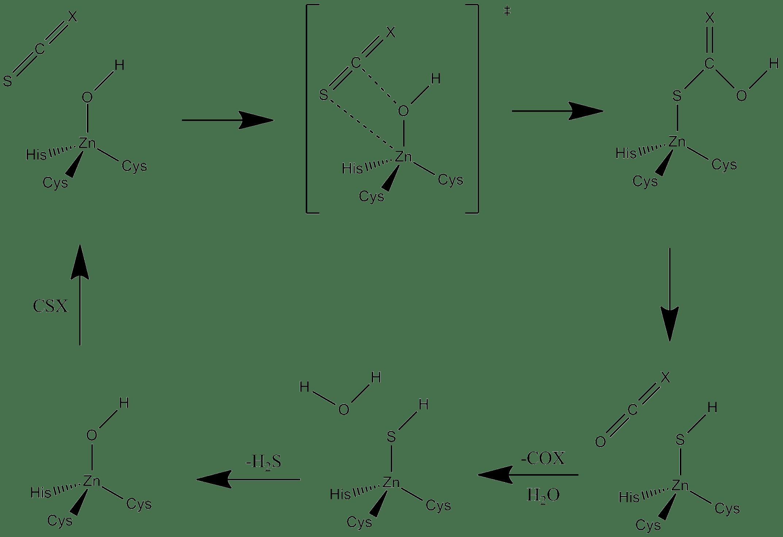 File Carbon Disulfide Hydrolase Mechanism