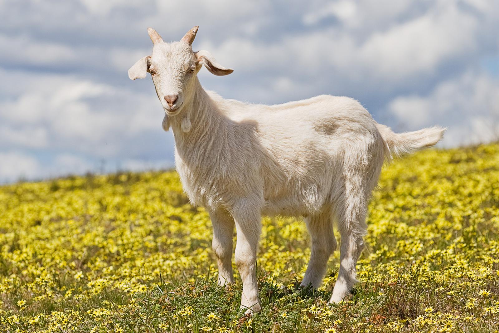 file domestic goat kid