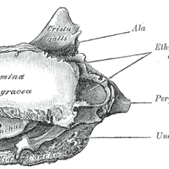 Ethmoid Bone Diagram Residential House Electrical Wiring Orbital Lamina Of Wikipedia