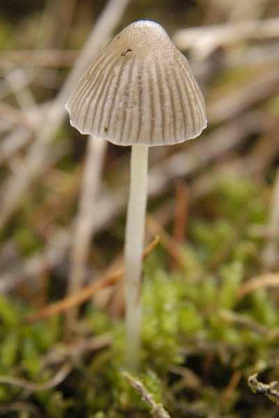 Mycena leptocephala  Wikipedia