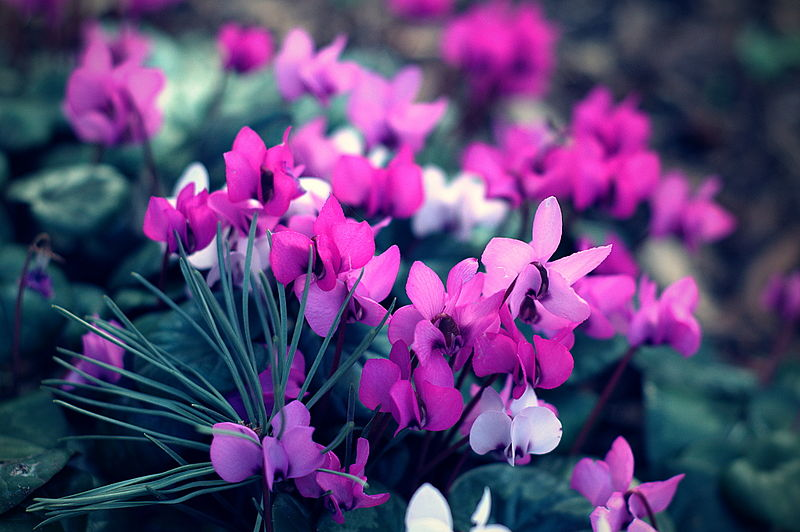 Photo of the Day: Alpine violets
