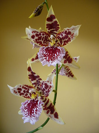 English: Photo of Cambria orchid flowers. &quo...