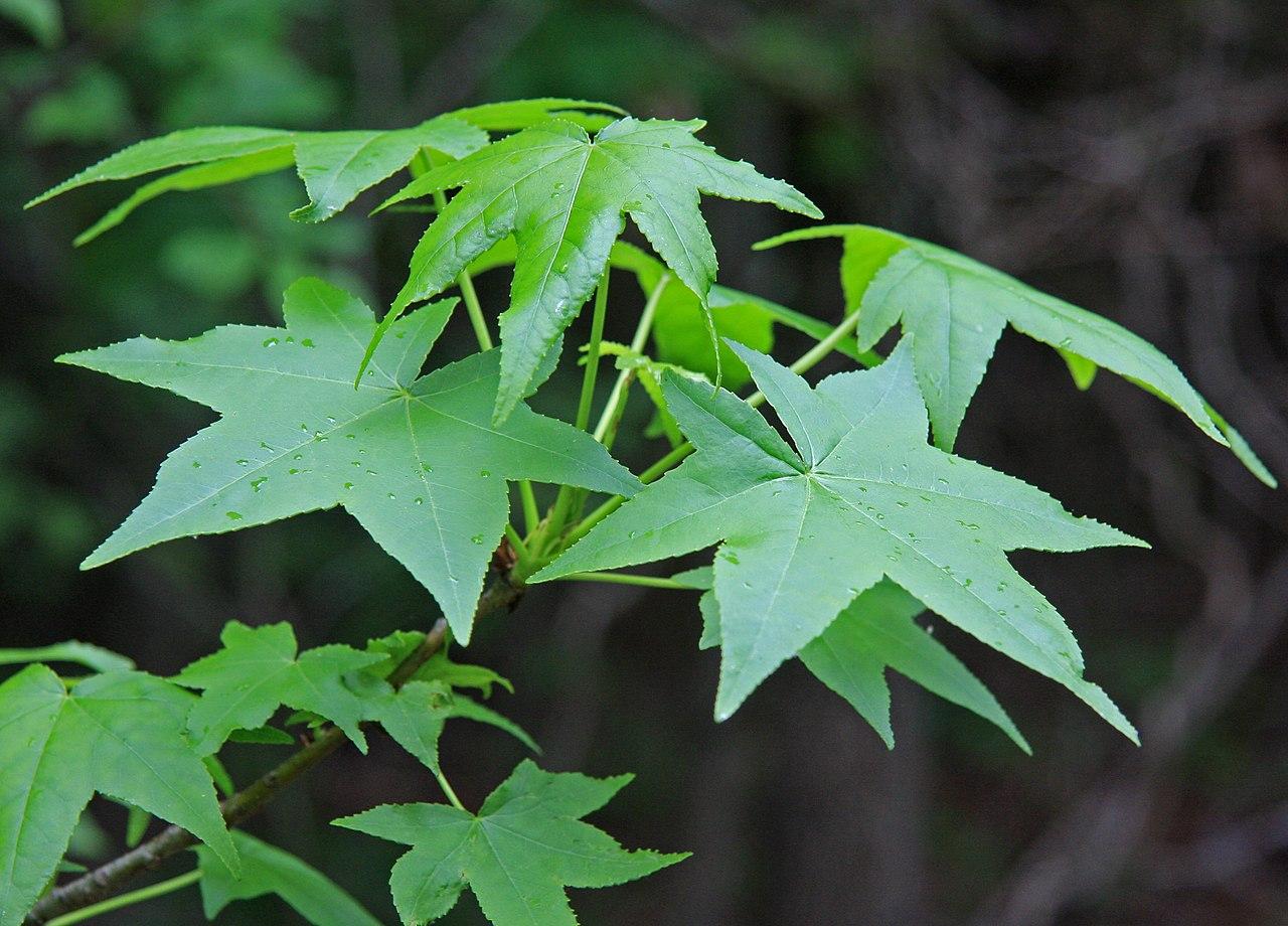 FileLiquidambar styraciflua Sweet gum leavesjpg