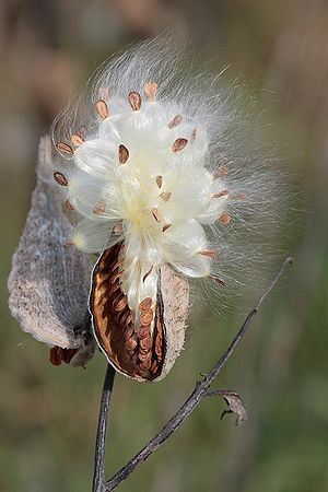The seed pod of milkweed (Asclepias syriaca)