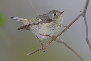 English: Ruby-crowned kinglet in Ohio