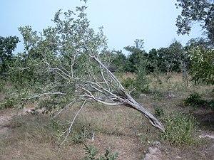 Destructive root harvesting for traditional me...