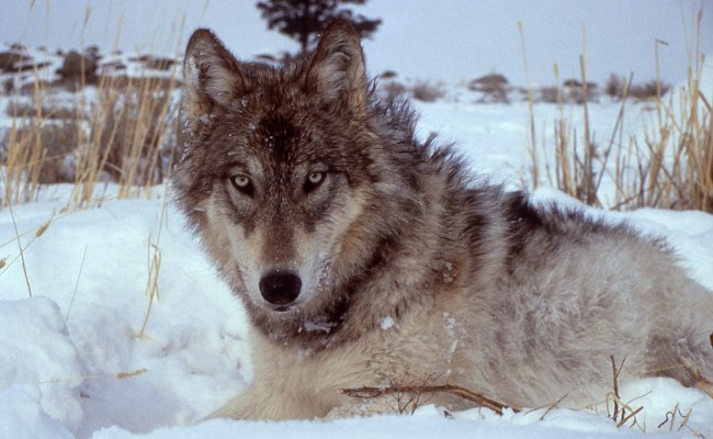 History Of Wolves In Yellowstone Wikipedia