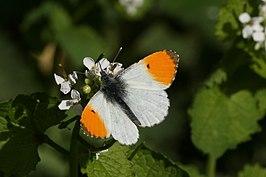 Oranjetipje  Wikipedia