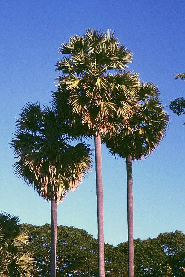 orassus flabellifer - Pohon Palem Sebuah Catatan Sejarah dari India