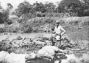 A photo of a young but dead Javan Rhinoceros i...