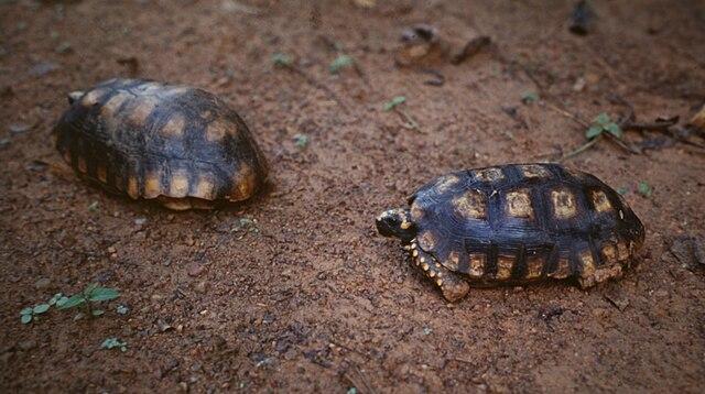 Two Chelonoidis denticulata. Zanderij-Apoera road, Suriname by Maarten Sepp