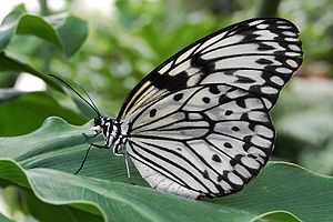 English: Paper Kite (Idea leuconoe) Deutsch: W...
