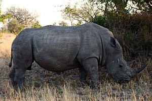 English: A big male Rhinoceros, made in SAbi S...
