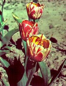 Tulip breaking virus  Wikipedia