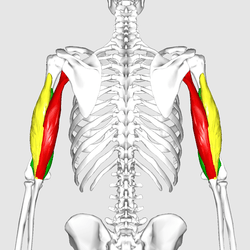 triceps brachii diagram relb 2s40 n wiring wikipedia muscle06 png