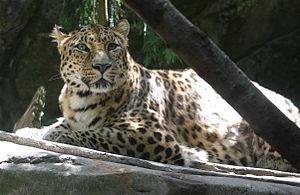 Panthera pardus orientalis (Amur Leopard) at t...
