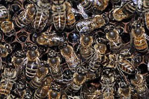 English: European honey bees (Apis mellifera) ...