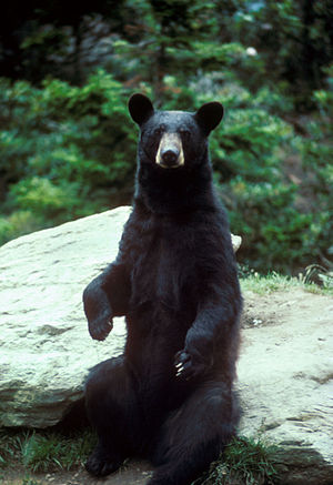 Ursus americanus English: A black bear standing
