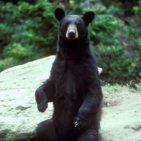 Black Bears Leave Their Mark