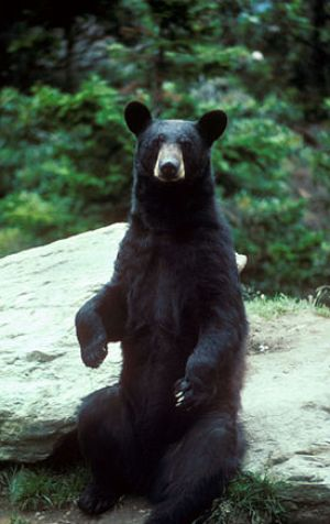 Despite being quadrupeds, bears can stand and ...