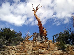 English: Bristlecone Pine on dolomite, White M...
