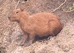Chigüire, animal t�pico venezolano.