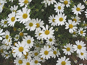 English: Corn Chamomile - Anthemis arvensis Sh...
