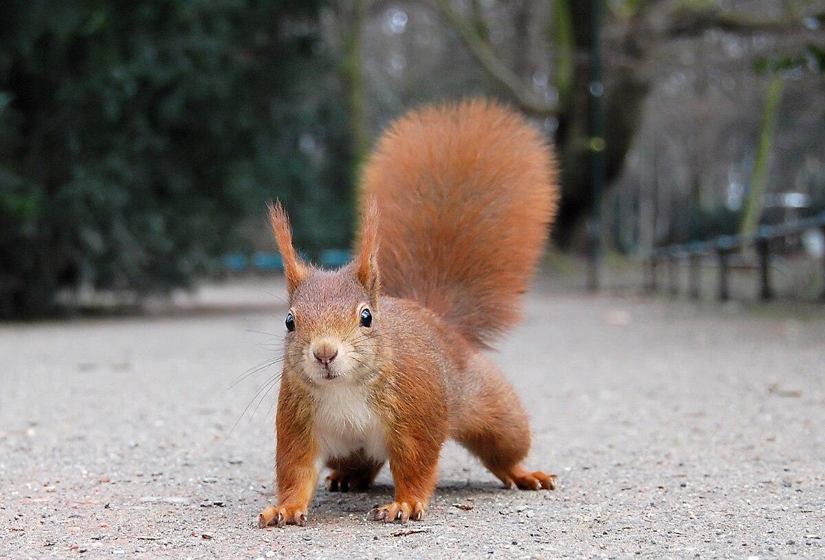squirrel wiktionary