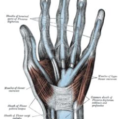 Palmar Hand Muscle Anatomy Diagram 1982 Corvette Wiring Thenar Eminence Wikipedia