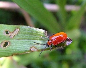 English: Lily Beetle, (Lilioceris lilii) A Sca...