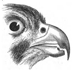 Natural History, Birds - Falcon beak