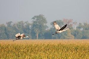 English: Two Sandhill Cranes (Grus canadensis)...