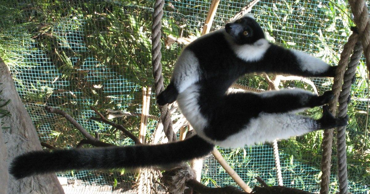 Blackandwhite ruffed lemur  Wikipedia