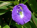 Clitoria MS4124.JPG