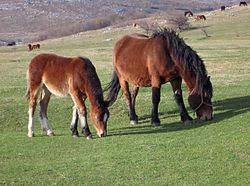 Konji-Zeljko