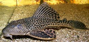 Pterygoplichthys multiradiatus (Syn. Liposarcu...