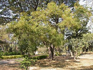An average Neem tree is 15 meters high with th...
