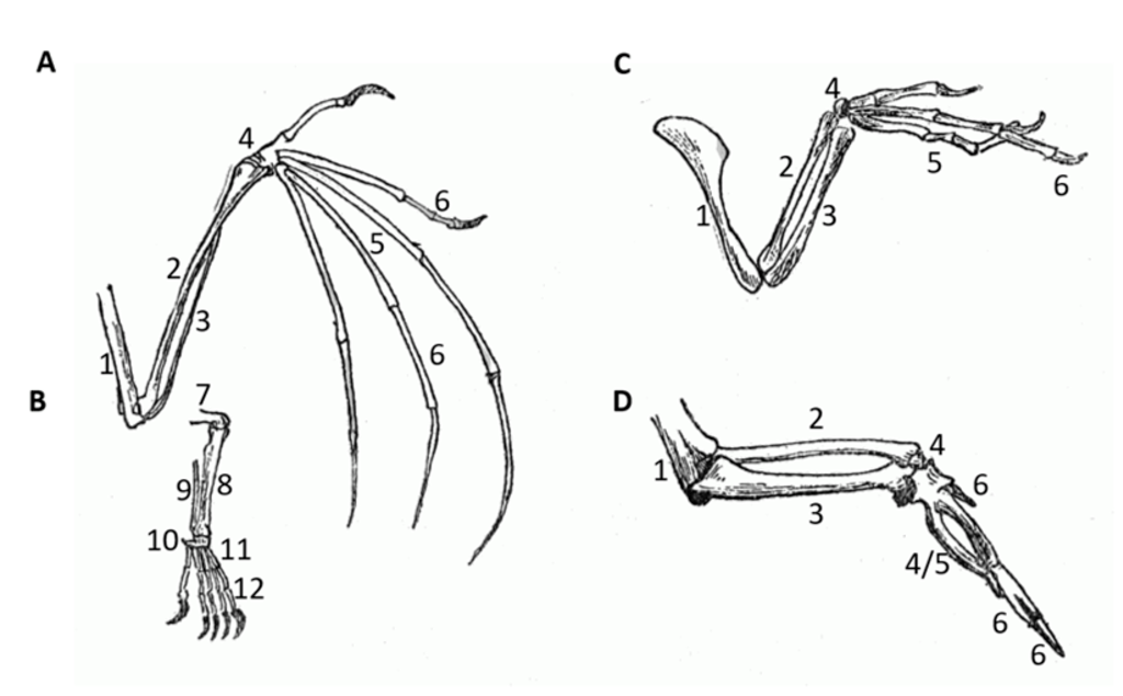File:PSM V52 D542 Evolution of limbs into wings.png