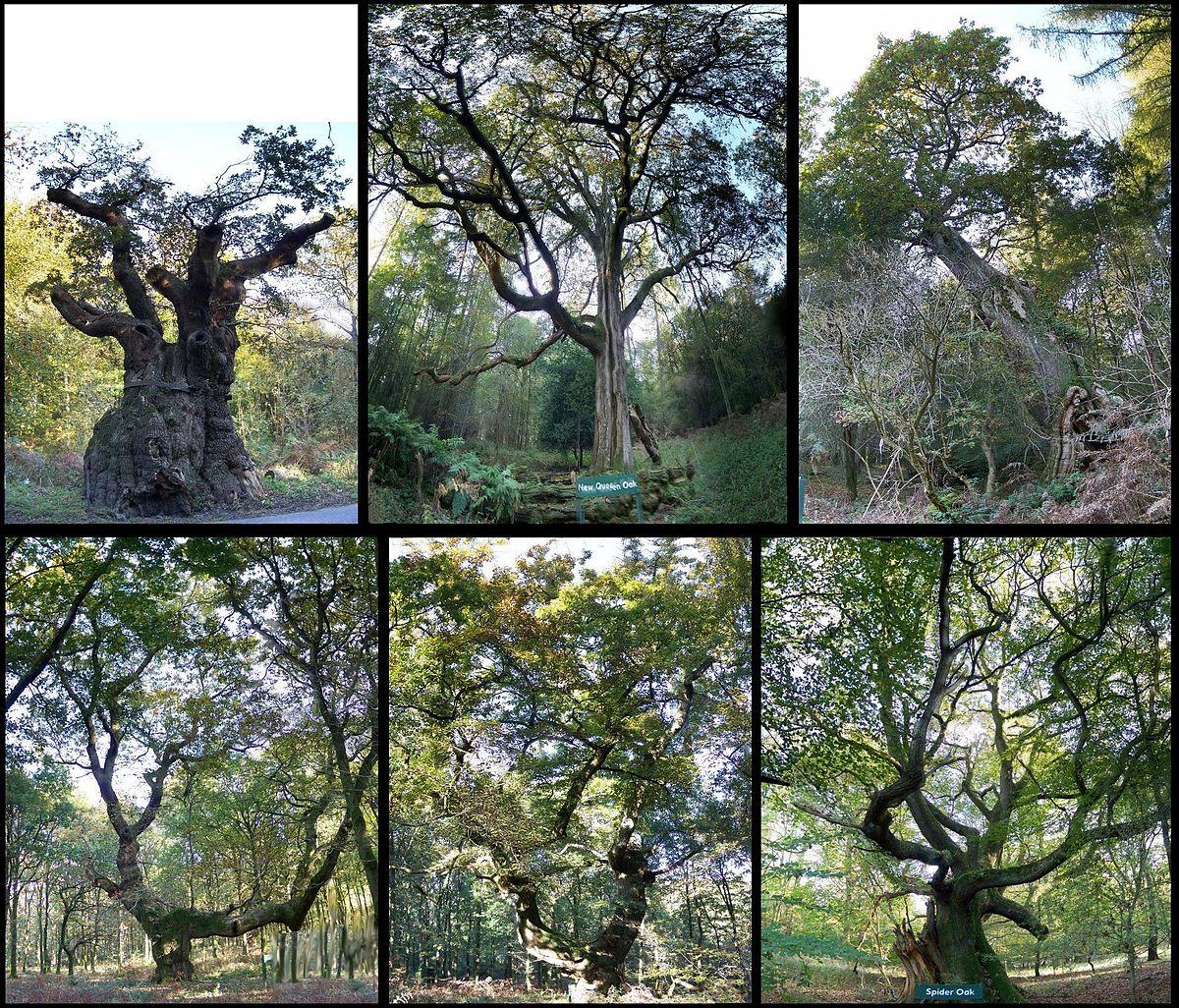 savernake forest wikipedia