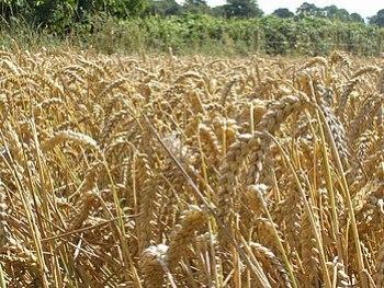 English: Wheat field