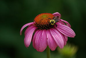 A bee pollinating an unidentified species of p...