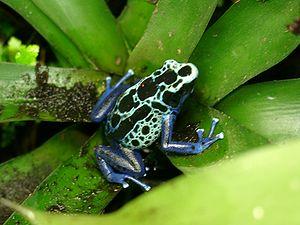 Dyeing dart frog (Dendrobates tinctorius).