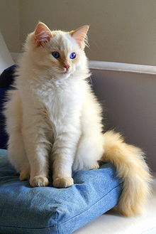 Flame Point Maine Coon : flame, point, maine, Ragdoll, Wikipedia