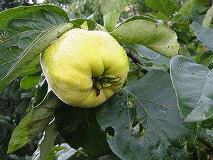 Quittenfrucht (Cydonia oblonga)