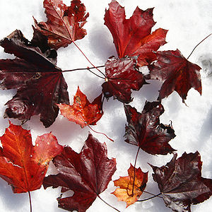 Autumn leaves of a red-foliage cultivar of Nor...